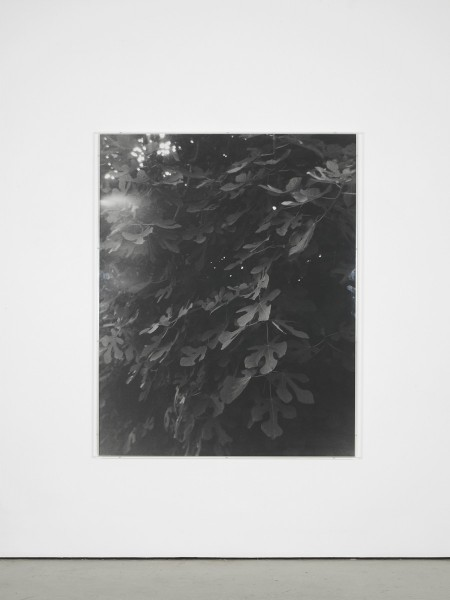 Becky Beasley, Fig Tree (2001) (Amwell Street), 2014. Silver gelatin print,150 x 119.5cm, framed 151.2 x 120.8cm. Courtesy Laura Bartlett Gallery, London